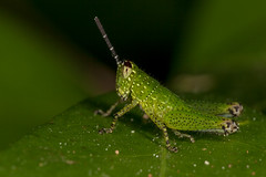 Built-in Sunvisors, pt. 3 - _TNY_7560 (Calle Söderberg) Tags: macro canon canon5dmkii canonef100mmf28usmmacro canoneos5dmarkii raynox dcr250 flash ringflash yongnuo yn14ex thailand kohlanta green grasshopper insect nymf nymph spurthroatedgrasshopper xenocatantops humilis gräshoppa locust acrididae spots spotted sunvisor catantopinae f22 ngc kolanta 5d2