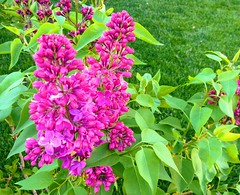 Lilacs (Mr. Happy Face - Peace :)) Tags: happythursdayfloral catchycolor purple processing art2018 pink wtbw theme 7dwf nature gardening bush blossoms macromonday