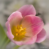 Pink tulip (Magda Banach) Tags: canon canon80d sigma150mmf28apomacrodghsm colors flora flower flowers macro nature pink plants tulip tulips yellow