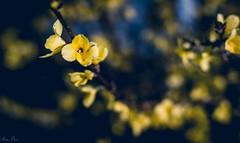 Amarillo (mariusbucsa) Tags: flores amarillo primavera marzo paseo atardecer parque calatayud aragón es españa nikkor35mm18g nikkor nikond5600 nikon