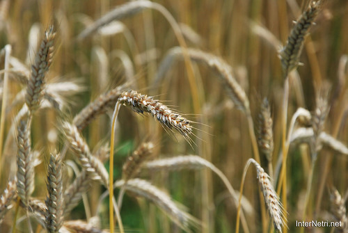 Пшениця, жито, овес InterNetri  Ukraine 040