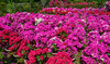 Flower plantation in Southern Vietnam (phuong.sg@gmail.com) Tags: annual asia beautiful beauty blossom botany climate colored common decoration delta flower formal garden grandiflora grass green growth head herb leaf magenta mekong morning moss multi nature orange petal pink plant portulaca purple purslane river rose small south spring stamen succulent tropical vietnam yellow