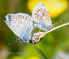 Common Blue-mating (~ **Barbara ** ~) Tags: butterfly butterflies pair mating small commonblue spots blue seed fields wildlife macro canon7dii macromondays natural 28518 allnatural