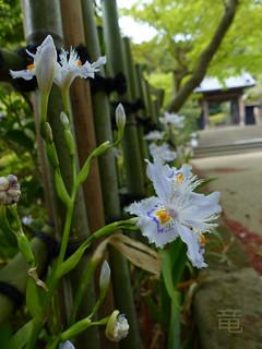 Japanese iris in kamakura