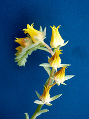 Echeveria Flowers (M.P.N.texan) Tags: succulent plant echeveria flower flowers flowering bloom blooms blooming yellow