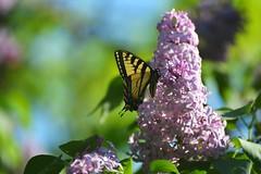 Sweet lilacs (Jodi Altringer) Tags: lilac butterfly swallowtail spring blooms garden minnesota