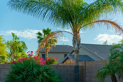 DSC_2435.jpg (AZ Myke) Tags: palm tree flowers sky wall houses birdofparadise bougainvillea plant queen nikon d850 mesa arizona clouds