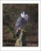 Watching (deltic22) Tags: birdsofprey hawk rock perch