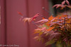Japanese Maple (lorinleecary) Tags: cambria centralcoastcalifornia leafs leaves red
