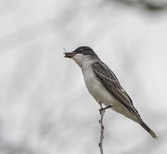 Eastern Kingbird - Tyrannus tyrannus (AnthonyVanSchoor) Tags: eastern kingbird tyrannus howardcountymd howardcountybirdclub raceroad elkridge tamron nikond7100 tamron150600mmtelephotolens marylandbiodiversityproject