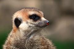 Erdmännchen (anubishubi) Tags: säuger säugetier insektenfresser beutegreifer tier animal meerkat nikond60