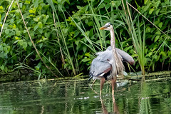 Great Blue Heron (mayekarulhas) Tags: philadelphia pennsylvania unitedstates us greatblueheron johnheinznaturereserve canon canon500mm canon1dxmark2 wildlife wild avian bird