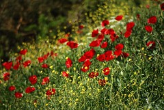 Bokeh in red and yellow (jimiliop) Tags: flowers spring nature red poppies green naturelovers springishere greece flora yellow bokeh grass depthoffield colors bold natural beauty