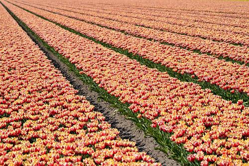 Tulips73