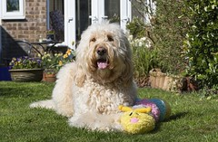 16/52 ... Evie enjoying the sunny weather (Chickpeasrule) Tags: evie goldendoodle garden sunny spring toy plush caterpillar lawn patio 52weeksfordogs