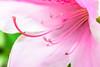 Hirado Azalea : ヒラドツツジ (Dakiny) Tags: 2018 spring april japan kanagawa yokohama aoba ichigao park city street plant tree flower azalea macro bokeh nikon d750 sigma macro50mmf28exdg sigmamacro50mmf28exdg nikonclubit