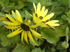 P1050384 (jesust793) Tags: flores flowers primavera amarillo