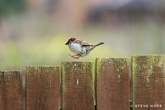 Sparrow (SteveH1972) Tags: canonef70200f28lusm canon70200lf28usm canon70200 70200 canon7d 7d bird birds sparrow nature wildlife hop hopping fence 2018 outside outdoor outdoors england uk britain europe northernengland