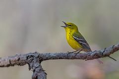 a Singing Pine (PhillymanPete) Tags: bird migration nature perch pinewarbler setophagapinus sing songbird warbler wildlife woodbine newjersey unitedstates us nikon d800e