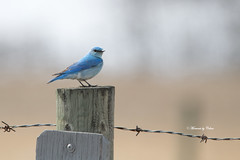 Mountain Bluebird (Canon Queen Rocks (2,336,000 + views)) Tags: birds beak blues bird mountainbluebird small wildlife wings wild nature perched wire barbedwire post feathers migratory canada alberta