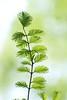 fresh green (* Yumi *) Tags: fresh green leaf 神代植物公園 メタセコイア 新緑