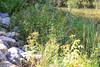 Plant Life by the Creek (Vegan Butterfly) Tags: outside outdoor whitemud ravine nature reserve edmonton alberta plants rocks creek