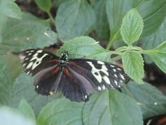 P4190169 (Steve Guess) Tags: horniman museum butterfly forest hill london england gb uk