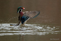 A fine wing flap (Earl Reinink) Tags: spring water pond bird animal duck waterfowl nature earl reinink earlreinink marsh color wings woodduck ztodeahdza