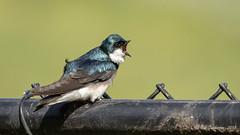 Tree Swallow (Bob Gunderson) Tags: birds bisonpaddock california goldengatepark northerncalifornia sanfrancisco swallows tachycinetabicolor treeswallows