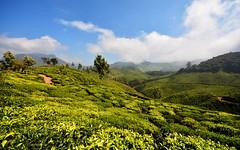 India - Kerala - Munnar - Tea Plantation - 40 (asienman) Tags: india kerala munnar teaplantagen asienmanphotography