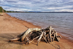 The giant crabs of Lake Superior (beyondhue) Tags: lake superior north ontario beyondhue beach shore fall driftwood root wood canada