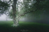 (Mimadeo) Tags: oak tree trees forest fog spring green wet foggy misty mist branch nature landscape morning leaves trunk light mystery mysterious lichen fantasy fairy magic ethereal magical mystical gloomy unreal twisted moss beautiful dreamy