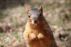 Squirrels On Early Spring Day in Ann Arbor at the University of Michigan (March 30th, 2018) (cseeman) Tags: gobluesquirrels squirrels annarbor michigan animal campus universityofmichigan umsquirrels03302018 spring eating peanut marchumsquirrel overcast art climber squirrelclimber