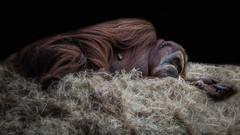 Melancholy (RissaJT_23) Tags: orangutan melbournezoo zoosvictoria zoo zoolife animal animalphotography ape canon6d canon canon24105mm
