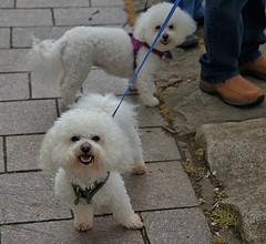 Ruff Ruff (Scott 97006) Tags: dogs canine animals pet cute petite small
