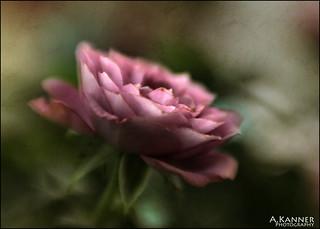 My Newest Mini Rose...