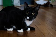 Zenyatta (juliafrenchfrey) Tags: cat cats animals animal tuxedocat blackcat kitten kittens kitty