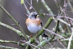 Brambling (billywhiz07) Tags: brambling bird uk winter visitor