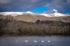 Follow the leader (picsbyCaroline) Tags: swans swim follow river reservoir dam water paddle birds mountains scenery scenic hills view sun landscape line quack nature reserve