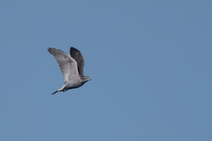 Goshawk (Tim Melling) Tags: accipiter gentilis goshawk male displaying display flight peak district dark south yorkshire timmelling
