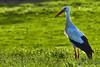 Fliegender Holländer (grafenhans) Tags: sony alpha 68 alpha68 a68 slt tamron 4056 70300 usd storch weisstorch vogel grafenwald bottrop nrw gegenlicht natur