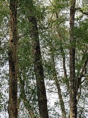 Woods And Sky. (dccradio) Tags: whiteoak nc northcarolina bladencounty tree trees foliage greenery sky branch branches treebranch treebranches nature natural wooded woods forest harmonyhall harmonyhallplantation park museum canon powershot elph 520hs