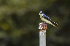 Tree Swallow (Minder Cheng) Tags: treeswallow vallevistastagingarea moraga california unitedstates us
