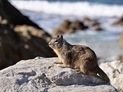 Squirrel by the Pacific Ocean (Seymour Lu) Tags: