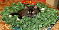 HAPPY NEW YEAR 2018 FROM MONTREAL ( Quebec ) CANADA (Guy Lafortune) Tags: new year année nouvelle table couronne fête wreath black cat chat noir pattes legs poil hair eyes ears oreilles yeux nez noze moustache whiskers sourcil eyebrow green corona compagnion closeup macro kitten docile dissipliné