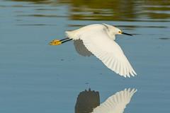Water skimmer (ChicagoBob46) Tags: snowyegret egret bird florida jndingdarlingnwr sanibel sanibelisland nature wildlife ngc coth5 npc