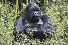 Big Silverback (featherweight2009) Tags: mountaingorilla gorillaberingeiberingei gorillas primates apes easterngorilla mammals africa