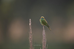 Little green Bee Eater (T@hir'S Photography) Tags: bird environmentalconservation greencolor beeeater eating small africa animal animalmarkings animalthemes animalwildlife animalsinthewild art artandcraft artscultureandentertainment backgrounds beautifulpeople beauty beautyinnature bee beehive beehivenewzealand birdwatching blue branchplantpart colorimage colors craft horizontal india indianculture indianethnicity indianmusic landscape multicolored nationallandmark nature paintedimage painting paintings pastelcolored pastelcrayon pasteldrawing pattern perching photography publicpark socialissues summer tropicalclimate uncultivated nikon d850 power sunrise quality high res resolution