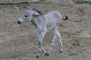Somali Wild Ass Foal