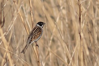 Reed bunting/rietgors